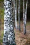 La profundidad del campo baja tiró de bosque de la abedul-madera Imagen de archivo libre de regalías