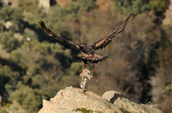 La proie d'aigle d'or est portée dedans les griffes Image libre de droits
