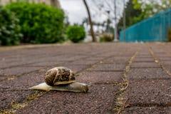 La promenade d'escargots dans le secteur de trottoir Photographie stock libre de droits