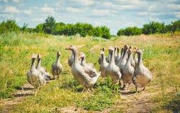 La promenade d'oies et frôlent dans le pré Photos stock