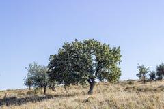 La prospettiva ha sparato dell'albero verde dal lato della contea del grano della collina a Smirne a Seferihisar fotografia stock