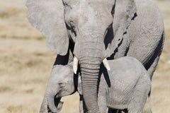 La protección, un elefante de la madre remete su elefante del bebé con seguridad debajo de su tronco fotos de archivo libres de regalías