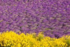 La Provence avec le gisement de lavande au coucher du soleil, région de plateau de Valensole dans les sud des Frances Image libre de droits