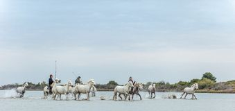 La PROVENZA, cavalieri del franco sui cavalli bianchi di Camargue che galoppano attraverso l'acqua Immagine Stock Libera da Diritti