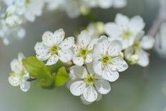 La prugna della spina fiorisce il primo piano nel giardino nel giorno soleggiato Immagine Stock Libera da Diritti