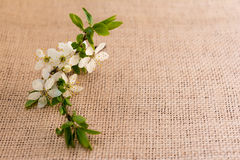 La prugna fiorisce la cartolina d'auguri Immagine Stock Libera da Diritti