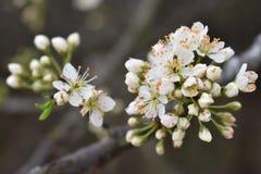 La prugna selvatica bianca sboccia in primavera Fotografia Stock