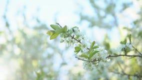 La prugna si ramifica durante la fioritura contro un fondo di chiaro cielo archivi video