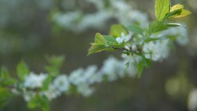 La prugna si ramifica durante la fioritura un giorno soleggiato video d archivio