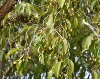 La prune de Java/arbre de prune de la prune/quetsche de noir (cumini de syzygium) avec l'ONU mûrissent des fruits Images stock