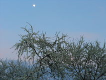 La prune fleurissant contre le ciel de soirée Images libres de droits