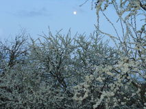 La prune fleurissant contre le ciel de soirée Photographie stock