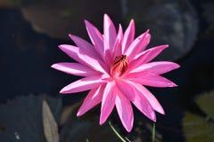 La puesta del sol anaranjada rosada hermosa de Perry del lirio de agua o de la flor de loto El Nymphaea se refleja en el agua imagenes de archivo