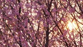 La puesta del sol con la rama de Sakura rosado florece en la montaña de Phu Lom Lo almacen de video