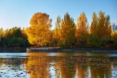 La puesta del sol de la orilla del lago del álamo blanco del otoño Imagen de archivo
