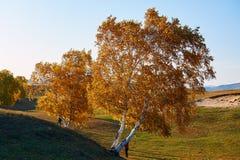 La puesta del sol de los árboles de abedul blanco del otoño Fotos de archivo