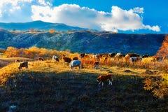 La puesta del sol del ganado de la consumición Foto de archivo