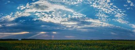 La puesta del sol dramática sobre los girasoles coloca imagen de archivo libre de regalías