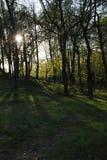 la puesta del sol en el bosque, la luz del sol pasa a través de los troncos de árbol imagenes de archivo