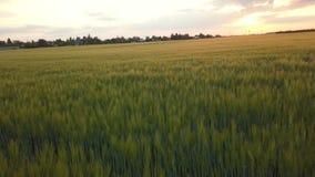 La puesta del sol en el campo de la cebada metrajes
