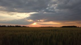 La puesta del sol en el campo de la cebada almacen de video