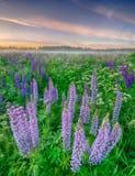 La puesta del sol está en el campo de flor Fotos de archivo libres de regalías