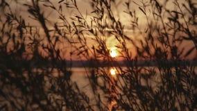 La puesta del sol maravillosa a través de las cañas en el lago, viento está moviendo las cañas Belleza de la naturaleza, verano M almacen de video