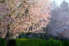 La puesta del sol temprana destaca cerezos florecientes en el suburbio de Seattle Foto de archivo