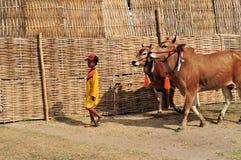 La puleggia tenditrice conduce i tori nella corsa del toro del Madura, Indonesia Immagini Stock