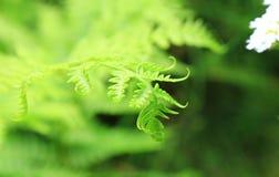 La punta delicata di filatura di una foglia della felce contro un fondo scuro di erba raggiunge per un fiore bianco fotografia stock libera da diritti