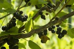 La puntilla de la grosella negra con las bayas y las hojas verdes se cierran para arriba fotografía de archivo libre de regalías