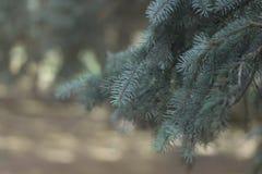 La puntilla verde del primer spruce La picea azul en el parque Imagen de archivo