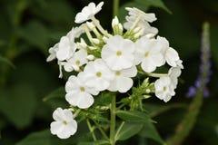 La pureté blanche simple du phlox Paniculata, cultivar Danielle photos stock