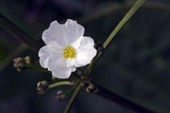La pureté d'une fleur blanche dans les marais Photo stock