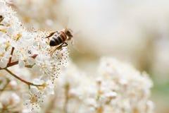 La pureza blanca florece la abeja del vuelo Foto de archivo