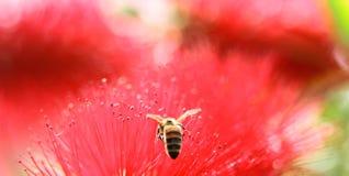 La pureza blanca florece la abeja del vuelo Imagen de archivo libre de regalías