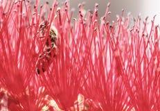 La pureza roja florece la abeja del vuelo dentro Imágenes de archivo libres de regalías