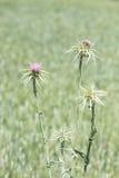 La purezza porpora fiorisce il cardo del cardo selvatico Fotografia Stock