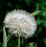 La purezza porpora fiorisce il dente di leone bianco Fotografia Stock