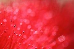 La purezza rossa fiorisce i petali astratti Fotografie Stock