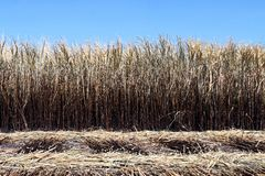 La quemadura de la plantación de la caña de azúcar, caña de azúcar, campo de la caña de azúcar se quema para cosechar, imagen del imagen de archivo