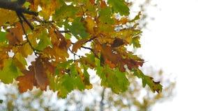 La quercia asciutta di giallo di autunno di caduta lascia la sfuocatura del fondo archivi video
