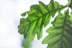 La quercia bagnata lascia nei precedenti vaghi foresta dell'estate fotografia stock libera da diritti