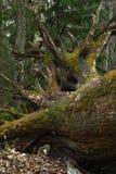 La quercia caduta Fotografie Stock Libere da Diritti
