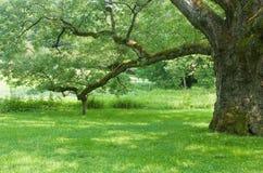 La quercia di Bedford Immagini Stock