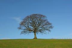 La quercia di inverno Immagini Stock Libere da Diritti