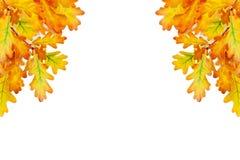 La quercia gialla va su fondo bianco isolato vicino su, confine decorativo del fogliame dorato di autunno, struttura del ramo di  fotografie stock libere da diritti