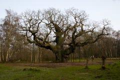 La quercia gigante Immagini Stock