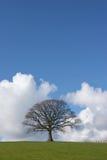 La quercia in inverno Fotografia Stock