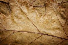 La quercia lascia il clouse-up Fotografie Stock